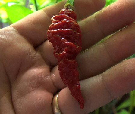 Here is the Murupi Giant Pepper, Capsicum chinense, Scoville units: 100,000 ~ 350,000+ SHU. This pepperoriginates from Brazil. It is said that this is the largest of the famous Brazilian Murupi peppers from northern Brazil. Fruits have a good, fruity flavor with a combination of sweet and spice that make them popular for hot sauces and eating fresh. They have a very unique shape and growing habit with fruits that can reach 4 incheslong an ripen red! Plants can reach 5 feet tall in full sun but with good pruning you can keep them much shorter, very productive plants. Open pollinated, 95 days.