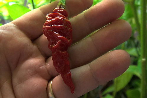 Here is the Murupi Giant Pepper, Capsicum chinense, Scoville units: 100,000 ~ 350,000+ SHU. This pepper originates from Brazi