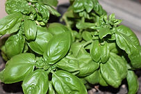 Here is the Cinnamon Basil,Ocimum basilicum. It is also known as Mexican spice basil andhas a spicy, fragrant aroma and flavor. It contains methyl cinnamate, giving it a flavor reminiscent of cinnamon. Cinnamon basil has somewhat narrow, slightly serrated, dark green, shiny leaves with reddish-purple veins, which can resemble certain types of mint, and produces small, pink flowers from July to September. It is a fast-growing annual herb that reaches a height of approximately 2.6 ft.Easy herb the grow! Open pollinated 40 to 100 days.