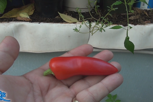 Here is the Fresno Pepper, Capsicum annuum, Scoville units: 2,500 to 10,000 SHU. The Fresno Pepper was developed and released