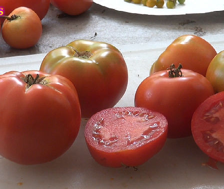 Here is the Thessaloniki Tomato, Solanum lycopersicum. This tomato originated from the city of Thessaloniki in Greece. This tomato was created by the Ministry of Agriculture Experimental Farm in 1957! These tomatoes can get to 2+ Lbs easy! It is orange color with slightly green shoulders and is great for making sauce and ideal for slicing. Highly productive and produced fruit all the way up to the end of the tomato season! Open pollinated, Indeterminate. 75 days.