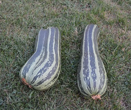 Here is the Green Striped Crookneck Cushaw Squash,  Cucurbita mixta. It is known as an Improved Cushaw squash and is a winter squash. This squash is a old time heirloom from the 1820's and has mottled green strips down the length. It has a great smooth flavor and best picked young. They can reach 12 to 18 inches in size. The flesh is light-yellow an is mild and slightly sweet in flavor. It is mostly grown in the southern and southwestern United States but can be grown anywhere! In addition to the plant's tolerance for heat, the Green Striped Cushaw's large, vigorous vines are resistant to the squash vine borer, which kills other squash and pumpkin plants that aren't protected with pesticides. Open pollinated 80 to 90 days.