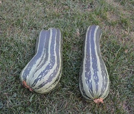 Here is the Green Striped Crookneck Cushaw Squash,Cucurbita mixta.It is known as an Improved Cushaw squash and is a winter squash. This squash is a old time heirloom from the 1820's and has mottled green strips down the length. It has a great smooth flavor and best picked young. They can reach 12 to 18 inchesin size. The flesh is light-yellow an is mild and slightly sweet in flavor. It is mostly grown in the southern and southwestern United States but can be grown anywhere! In addition to the plant's tolerance for heat, the Green Striped Cushaw's large, vigorous vines are resistant to the squash vine borer, which kills other squash and pumpkin plants that aren't protected with pesticides.Open pollinated 80 to 90 days.
