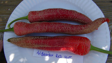 Albanian Red Hot Pepper - Rare Embroidered Pepper