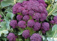 Early Purple Broccoli