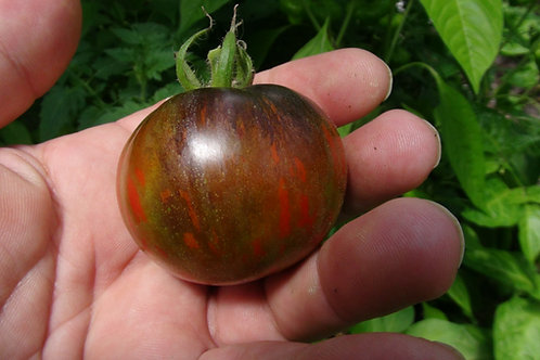The cosmic eclipse tomato is anew release from Brad Gates, Medium sized 2 to 4 ounce fruits start off green with dark green