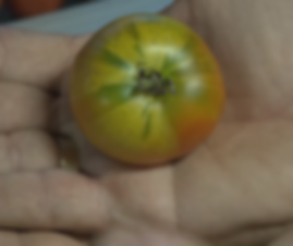 Splash of Cream Variegated Tomato