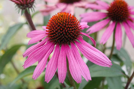 Echinacea Purpurea aka Purple Coneflower is a North American species of flowering plant in the sunflower family. It is an herbaceous perennial. It's also grown as an ornamental plant, and numerous cultivars have been developed for flower quality and plant form. It is purported that all parts of the purple cone-flower stimulate the immune system.60-70 days.
