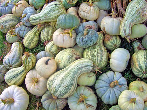 Here is the Green Striped Crookneck Cushaw Squash,  Cucurbita mixta. It is known as an Improved Cushaw squash and is a winter