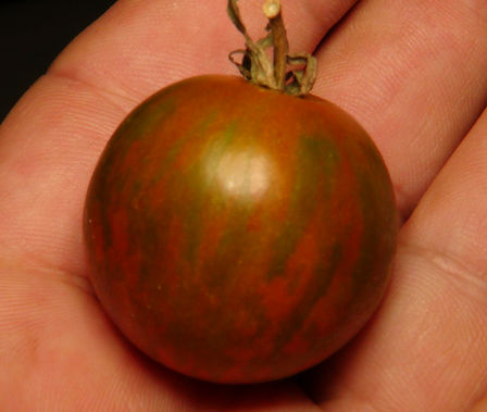Here is the Ramblin Stripe Tomato, Solanum lycopersicum. The origins of this tomato is unknown. It is considered a hanging basket type due to its short sprawling plants. The fruits are a large fat cherry tomato with a green skin and red stripes and a deep orange flesh inside that gets to about 1.5 inches round and weighting around 2 oz. The thing about this variety is the unusual green skin with red strips! Plants are a dwarf type and can get to 2 feet tall in really good soil but plants tend to get to 18 inches tall. Great for salads, eating fresh and for tomato sauce and paste! Open pollinated determinate regular leaf early season 55-60 days.