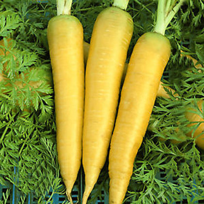 Here is the Jaune Obtuse Du Doubs Carrot, Daucus carota subsp. sativus. They originated from France around 1894 and was named