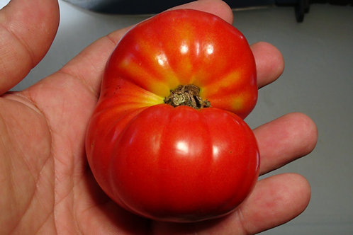 Here is the Waratah Dwarf Tomato, Solanum lycopersicum. This tomato originates from USA and was created by Patrina Nuske Smal