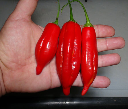 Here is the CAP 455 Pepper, Capsicum baccatum var. pendulum, Scoville units: 1,000 to 2,500 SHU. This peppers originates from Germany and was first into the Leibniz Institute for Plant Genetics and Crop Plant Research (IPK Gatersleben) in 1974. This rare baccatum pepper variety is quite tasty and is often confused with the Aji Verde pepper which is a shorter and stockier. Pods start out green in color then turn red in color when fully ripe and get to 3 to 4.5 inch long. Plants can get to 4+ feet tall and tend to branchy producing dozens of fruits. Pods have an amazing baccatum berry like flavor when fresh but with some sweetness with a very nice low burn that don't last very long! Excellent for eating fresh, drying and roasting! This is a mid to late season variety so start early! Open pollinated 70 to 100+ days.