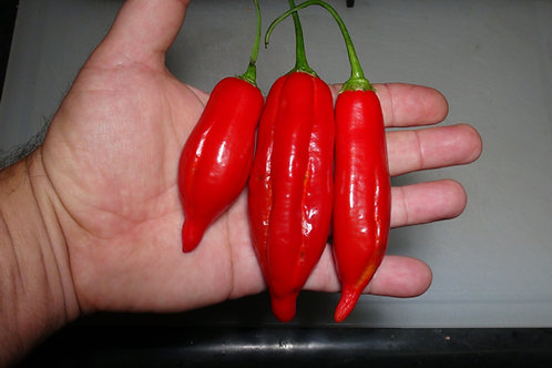 Here is the CAP 455 Pepper, Capsicum baccatum var. pendulum, Scoville units: 1,000 to 2,500 SHU. This peppers originates from