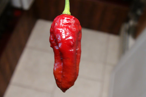Here is the Bombay Morich Maroon Pepper , Capsicum chinense, Scoville units: 1,000,000 to 1,598,227 SHU. This is a Maroon ver