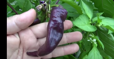 Here is the Purple Cayenne, Capsicum annuum, Scoville units: 50,000 SHU. These cayenne pepper seeds will produce a plant with excellent yields of 3 inch long by 1 inch wide hot purple peppers. They are very hot but have excellent flavor. Great for culinary creations. Grows well in containers and smaller spaces. Turns from green to purple as they continue to mature. Cayenne is a popular spice in a variety of cuisines. It is employed variously in its fresh form, dried and powdered, and as dried flakes. It is also a key ingredient in a variety of hot sauces, particularly those employing vinegar as a preservative. Buffalo Wings sauce contains Cayenne pepper. Open pollinated 78 days.