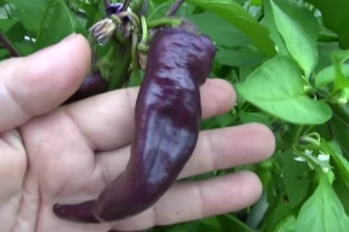 Here is the Purple Cayenne, Capsicum annuum, Scoville units: 50,000 SHU. These cayenne pepper seeds will produce a plant with