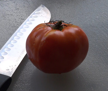 Here is the Delicious Tomato, Solanum lycopersicum, The Delicious tomato was Introduced by Burpee and holds the world's record for largest tomato for 30+ years at 7 lbs 12 oz. They are great producers with fruit sizes 2 to 3 pounds and are crack-resistant with smooth skinned fruits and a nice balance of sweet and tangy flavor witch makes a great tomato sauce. They are a Mid-season, indeterminate, regular leaf type tomato variety. Resistance to fusarium wilt and verticillium wilt. Indeterminate. Open pollinated 80 days.