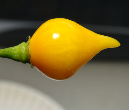 Here is the Biquinho Amarelo Pepper, Capsicum chinense, Scoville units: 400 to 1,500 SHU. This Pepper originates from Minas Gerais, Brazil. It is also known as Chupetinho, Pimenta de Bico or Chupetinha pepper but this is Yellow type. The Amarela (Yellow) variety is similar to the red variety with fruits getting to 1 inches long with a point to them. This is a very strange pepper variety as the fruits are shaped like a birds yellow beak. They are a good productive variety. with plants reaching 3 feet tall. Fruits are yellow and heat range from low heat to medium hot. We found these to be great for pickling and fresh eating too! Open pollinated mid season 80 to 90+ days.