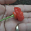 Here is the Rocotillo Pepper, Capsicum chinense, Scoville units: 1,500 to 2,500 SHU. The Rocotillo Pepper originates from Per