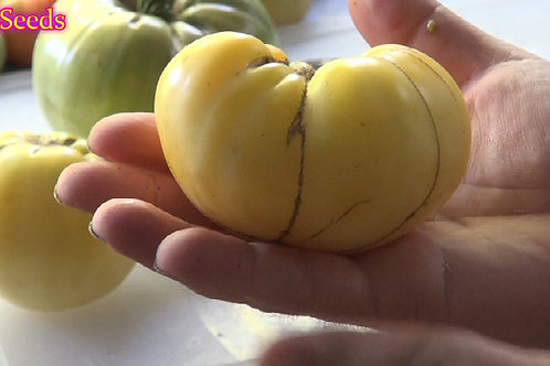 Here is the Great White Tomato, Solanum lycopersicum. This tomato was introduced to the public in the early 1990s by Gleckler
