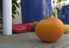 Here is the Dad's Sunset Tomato, Solanum lycopersicum, Dad's Sunset tomatoes are 2 to 3 inches round, golden orange tomatoes. They are crack-resistant with smooth skinned fruits with a nice balance of sweet and tangy flavor which makes a great tomato sauce. This tomato variety is a good producer with plants that can get to 7 feet long. A goodtomato variety to grow in the colder states. Indeterminate,Open pollinated 85-90 days.