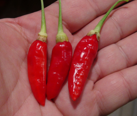 Here is the Aji Cirel Pepper, Capsicum Frutescens, Scoville units: 1,000 to 15,000 SHU. This peppers originates from Venezuela. It is a Tabasco type pepper but much larger. The pods can range in size from 1 to 2.5 inches long. Fruits start out green in color and turn to red when fully ripe. Plants can get to 3.5+ feet tall and tend to be a medium-large sized plant but if pruned and potted they tend to stay small like 3 feet tall and bushy. Pods have an amazing flavor with a very nice uniqueness and medium to low heat and very satisfying. Some peppers may be very hot so be careful! These make a great drying pepper with the walls being thin an will dry on the plant if left on. It's also good for fresh eating too! Very rare and hard to get variety! Open pollinated mid to late season 70 to 92+ days.