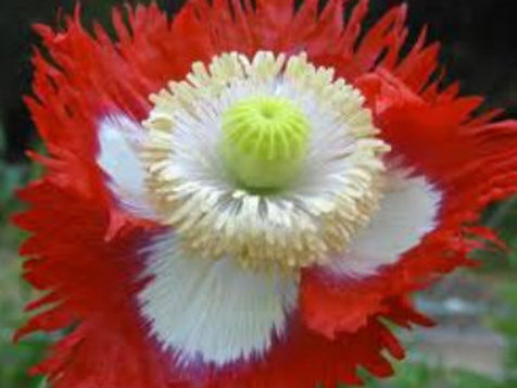Danish Flag Afghan Poppy,Papaver Somniferum flower.They are a favorite of gardeners in every state for rock gardens, flower