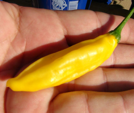 Here is the Lemon Drop Pepper also known as the ají limon pepper, Capsicum baccatum, Scoville units: 10,000 ~ 30,000 SHU. Do not let the sunny yellow color fool you! This variety originates from Peru with a nice kick of heat. The citrus-like, lemon-flavored pepper which is a popular seasoning pepper in Peru can produce over 100 fruits per plant! The Lemon Drop Pepper combines the heat of a cayenne with a lovely citrus baccatum flavor. Plants are heavy producers with 2 to 3 inch fruits covering this Peruvian variety. Excellent for cooking, freezing, hot sauce and salsas! Plants get to around 5 feet tall. Open pollinated 80 days.