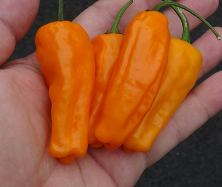 Here is the Orango Sweet Pepper, Capsicum annuum, Scoville units: 000 ~ 50 SHU. We believe the Orango Sweet Pepper originates from USA and not the island of Orango. The peppers have no heat but may have some low heat under different growing conditions. It's thin wall and tough skins make it quite good for pickling or drying for your ristra's. One plant can produce dozens of peppers that range from 2.5 to 4 inches long and the plant can get to 3 feet tall and bushy. You can Grow it as an ornamental, or in the vegetable garden, or both! Makes a really great sweet powder and dries out with in a few days! Open pollinated 75 days.