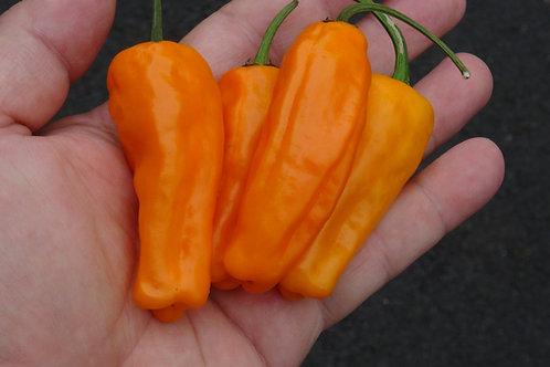 Here is the Orango Sweet Pepper, Capsicum annuum, Scoville units: 000 ~ 50 SHU. We believe the Orango Sweet Pepper originates