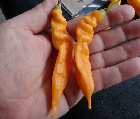 Here is the Bolivian Orange, Yellow and Cream Peppers, Capsicum baccatum, Scoville units: 2,000~ 6,000 SHU. This pepper originates from Bolivia. We have 3 variations of this pepper, orange, yellow and cream. They have an amazing baccatum flavor and are great eating fresh or dried making it great for flake. They turn orange and stay orange same with the other colors. We originally sourced our seed from Pepperlovers under the name Bolivian Orange Pepper.Open pollinated 90 days. Please note: We can't guaranty the colors will stay true as this is our first time growing them. Though we believe they will do so but worse case you end up with all 3 colors!