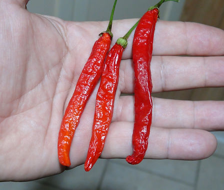 Here is the Tehrani Pepper, Capsicum Frutescens, Scoville Units: 500 ~ 10,000 SHU. This is the true version of this pepper. This pepper originates from the city of Tehran in Iran. It produces pods that range in size from 2.5 inches to 6+ inches long. The shape of the pods are strange where they are kinda square and have a blunt nose at the end. The heat can vary quite a bit with little to no heat to 10,000 SHU or over! Plants are productive but are late season type and can take months to ripen. The flavor is a very unique kind to taste. Plants get to 3 feet tall and wide. We recommend growing it in a pot and bring it in for the winter. Open pollinated 120 days from transplanting.