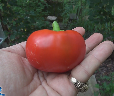 Here is the Topepo Rosso Pepper, Capsicum annuum, Scoville units: 000 SHU. This sweet pepper originates from Italy. It is also known as Christmas Pepper.Plants are good producers and need full sun for larger fruits. Peppers can get to3 inches round and have a hard feel to it. These plant can grow for many years in an pot and get no bigger then 30 inches tall and stay pretty much compact. Best of all they produce fruit all winter long! It is a thick walled pepper and mostly used for pickling. Our plants are 3 years old now 2019! Open pollinated, 75 days.