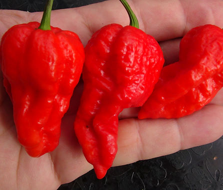 Here is the Bombay Morich Pepper, Capsicum chinense, Scoville units: 1,000,000 to 1,598,227 SHU. This version of naga originates from Mumbai (formerly called Bombay) which is the capital city of the Indian state of Maharashtra. It is very similar to the Naga Morich Pepper pepper but is a little different. Pods start out green then ripen to red in color when fully ripe with skins that are lumpy and bumpy like a Bhut Jolokia but fatter then a bhut. Plants can get to 4 feet tall and produce dozens of fruits per plant. Pods have an amazing rich flavor with a very high striking burn that don't go away very fast! This pepper is rated very high on the scoville scale and is just as hot as the regular Naga Morich. Open pollinated 80 days.