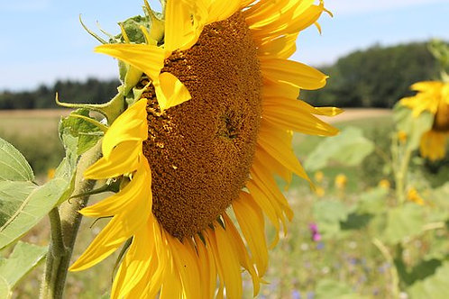 Titan Sunflower,Helianthus annuus isone of tallest varieties available! This Plants grow to 12 feet tall with heads up to 2