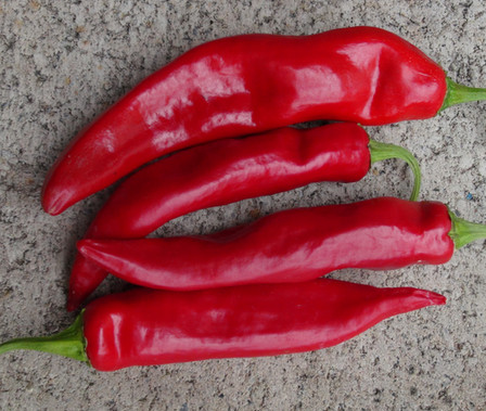 Here is the Guajillo Pepper, Capsicum annuum, Scoville units: 2,000 ~ 5,000 SHU. This pepper originates from Mexico and is often referred to as a mirasol chili but it is not! They are used to make Ristra's and when dried they become a translucent burgundy color. Pods can get to 10 inches long and are thin walled and go from green to red when ripe. Very popular in Mexico and used quite often in salsa and hot sauce for Mexican dishes. Plants get to around 3 feet tall and make over 2 dozen peppers. Highly productive plants that do well in hot dry weather. They winter over nicely making them great house plants as well! Open pollinated 85 days.