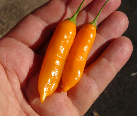 Here is the Aji Cito Pepper, Capsicum baccatum, Scoville units: 10,000 ~ 80,000 SHU. This variety originates from Peru and is a heavy producer! The strong citrus flavor makes this variety among the most desired peppers in the entire Capsicum baccatum family and widely used through out Peru. Plants can get to 5 feet tall producing hundreds of pods about 2 inches long turning from green to yellow to sunset orange. It is best to grow out in full sun but can grow well in partial shade. This pepper variety likes to be pruned and will double the production after pruning. Open pollinated 90 days.