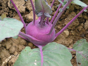 Delicatese Blue Kohlrabi