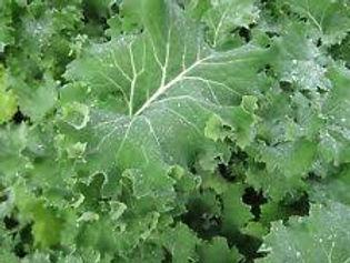 Siberian Dwarf kale