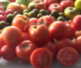 Here is the Oregon Spring Tomato, Solanum lycopersicum. This tomato originated from Oregon  USA and was developed at Oregon State University. This tomato is a fantastic one that is a good producer with tomatoes about 3 inches in size! They are the perfect slicer tomato and is known to be an early producer! It is orange/red color and is great for making sauce, salads and ideal for slicing. Highly productive and produced fruit all the way up to the end of the tomato season! Open pollinated, Indeterminate. 60 days.