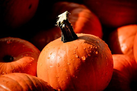 Here is the Small Sugar Pumpkin, Cucurbita pepo is a pumpkin that is used to make pumpkin pie and for canning! It has been in cultivation since 1863 in north america. It is a sweet pumpkin and the seeds are great for roasting while the rind can be made into pies, muffins or soups. This variety can produce pumpkins fairly quickly an can make 5 pumpkins per vine averaging from 5 to 7 inches round and orange. Plants can get to 12 feet long and best grown along the ground. We just cut them in half, put them in the oven for 25 minutes then scoop out the inside with a spoon and make pumpkin pie! They can get to 3 Lbs in weight Open pollinated 90 days.