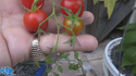 Here is the Sweet million tomato, Solanum lycopersicum, This indeterminate, regular-leaf cherry tomato is a Disease Resistance: TMV hybrid tomato. It will form a chain bract of about 15-20 and hang all the way down to the ground. They are an improved version of the sweet 100 tomato. It has a sweet and juicy tomato flavor and is a heavy producer! Open pollinated. Indeterminate. 50-70 days.