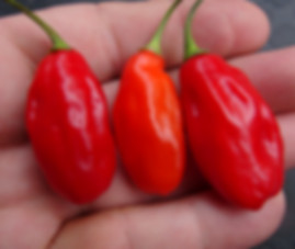 Here is the Charanero Pepper, Capsicum chinense, Scoville units: 30,000 ~ 100,000 SHU. This is an HR creation that was not intentional but rather an accidental cross between a red Habanero Pepper and a Aji Charapita Pepper! This a highly productive pepper plant getting to around 3 feet tall and compact.The pods are about 2 incheslong and 3/4 incheswide and are very soft when ripe. They have a great flavor and would make a great variety for making hot sauce! It is NOT fully stable but we will offer seeds as an F-2 in2019. This pepper plant winters over just fine and would make a nice potted house plant! Open pollinated 60 days.