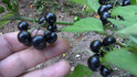 Here is the garden huckleberry, Solanum nigrum. An unusual crop for gardeners to try. The garden huckleberry bears small jet-black berries that are cooked and sweetened, and often combined with other fruits such as apples, lemons and grapes, to make jellies, preserves and pies. Garden huckleberry plants resemble pepper plants, bushy and erect, up to two feet tall. The fruits are not edible until fully ripe and cooked. They are toxic if eaten unripe! Plants can get to 4 feet tall and very branchy an spread out. One plant can produce hundreds of berries and often times reseeds it's self every year. Open pollinated 40 to 60 days to full maturity.