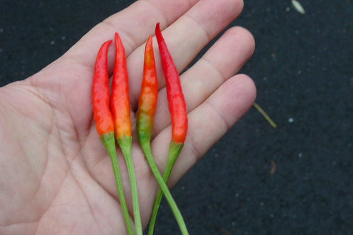 Here is the Chi Chien Pepper, Capsicum annuum, Scoville units: 40,000 ~ 70,000 SHU. This pepper originates from China and is