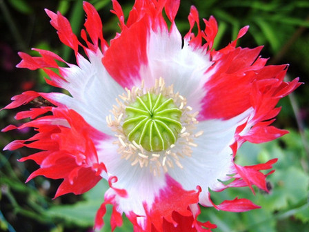 Danish Flag Afghan Poppy,Papaver Somniferum flower.They are a favorite of gardeners in every state for rock gardens, flower beds an containers. These poppy's are self-sowing if you let them go to seed. Mid season open pollinated annual 50 to 75 days.