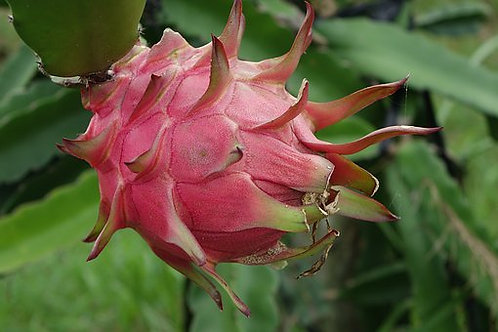 Here is the White and Red Dragon Fruit, Hylocereus undatus. It is one of several cactus species indigenous to the Americas. P