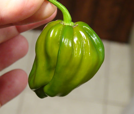 """Here is the Saras Green Pepper, Capsicum chinense, Scoville units: 500 to 5,000+ SHU. This peppers origins are unknown at this point. This variety of pepper is a heavily fluted habanero type of fruit but not a habanero. It is said to be a """"cross"""" of a Chocolate Scorpion SR and some unknown pepper. The pods are a medium sized pepper with a short stocky body shape and a medium heat. The pods can range in size from 2 to 3.5 inches long. Fruits start out green in color and turn to a darker green with undertones of school bus yellow when fully ripe. The inside of the pepper has a deep darker yellow-orange color when fully ripe. Plants can get to 3.5+ feet tall and tend to be a medium sized plant but if pruned and potted they tend to stay small like 2.5 feet tall and bushy. Pods have an amazing flavor with a very nice uniqueness and medium to low heat and very satisfying. Some peppers may be very hot so be careful! These make a great drying pepper with the walls being medium an will dry on t"""