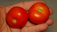 """Here is the Jersey Sunrise Tomato, Solanum lycopersicum. This tomato originates from the island of Jersey. The fruits are a cherry sized red skinned, red cherry type tomato getting to about 1 inch round and weighting over a 1 oz. The thing about this variety is the history behind it. Brian Adair of Jersey said """"The variety was grown all over Jersey in times past. I obtained the seed originally from a local grower. Can be grown indoors and out. Don't let fruits become too ripe before picking as they seem to split easily."""" Plants can get to 4 feet tall in really good soil but plants tend to get to 3 feet tall. Great for salads, slicing and for tomato sauce! Open pollinated Indeterminate regular leaf 70-85 days."""